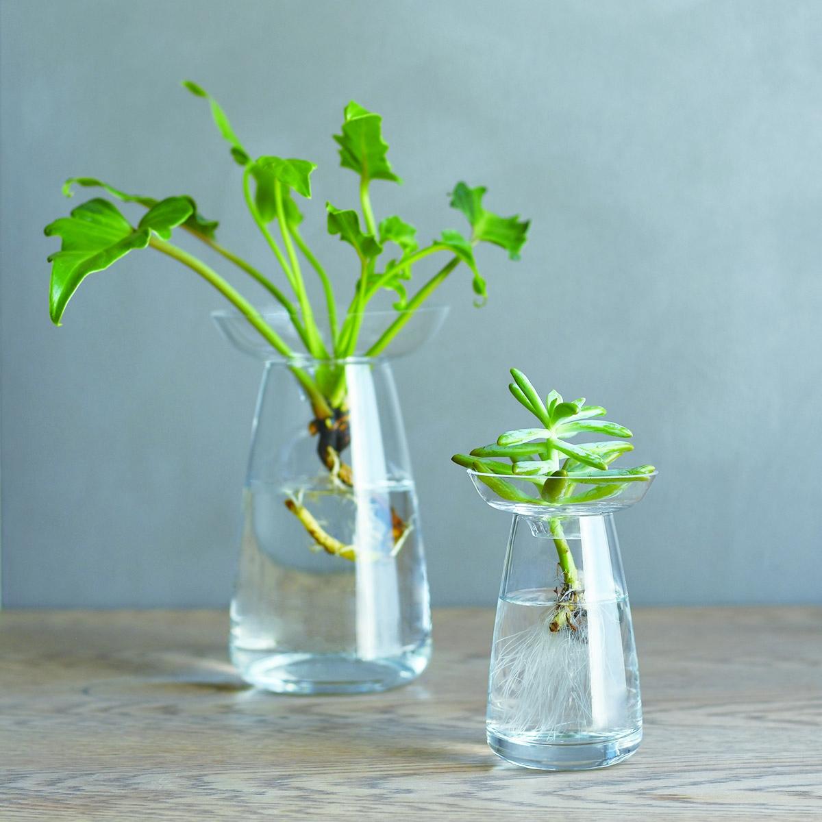 plante grasse hydroponie